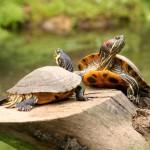img_como_alimentar_as_tartarugas_de_agua_3125_orig